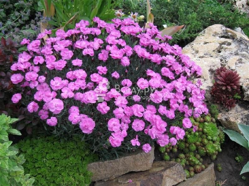 Неприхотливые цветы для дачи