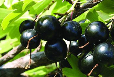 Описание смородины «добрыня»