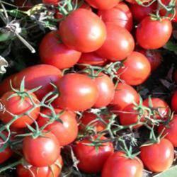 Описание сорта томата искорка, особенности выращивания и ухода