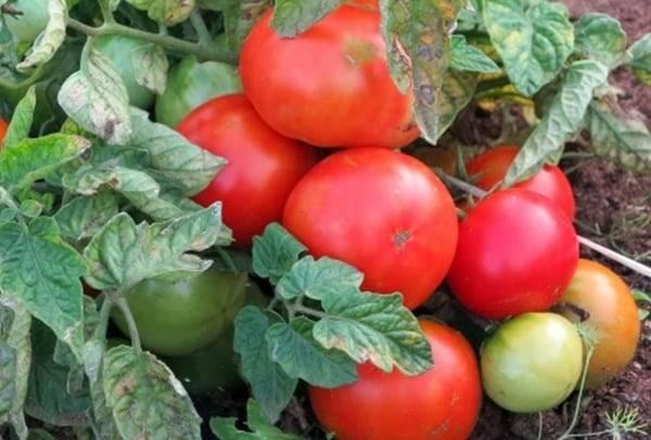 Самые урожайные и лучшие новые сорта томатов 2020 года для теплиц и открытого грунта