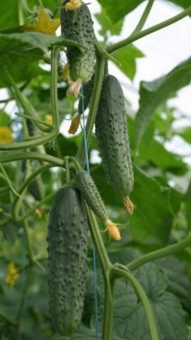 Сорт огурцов мамлюк: описание, агротехника выращивания