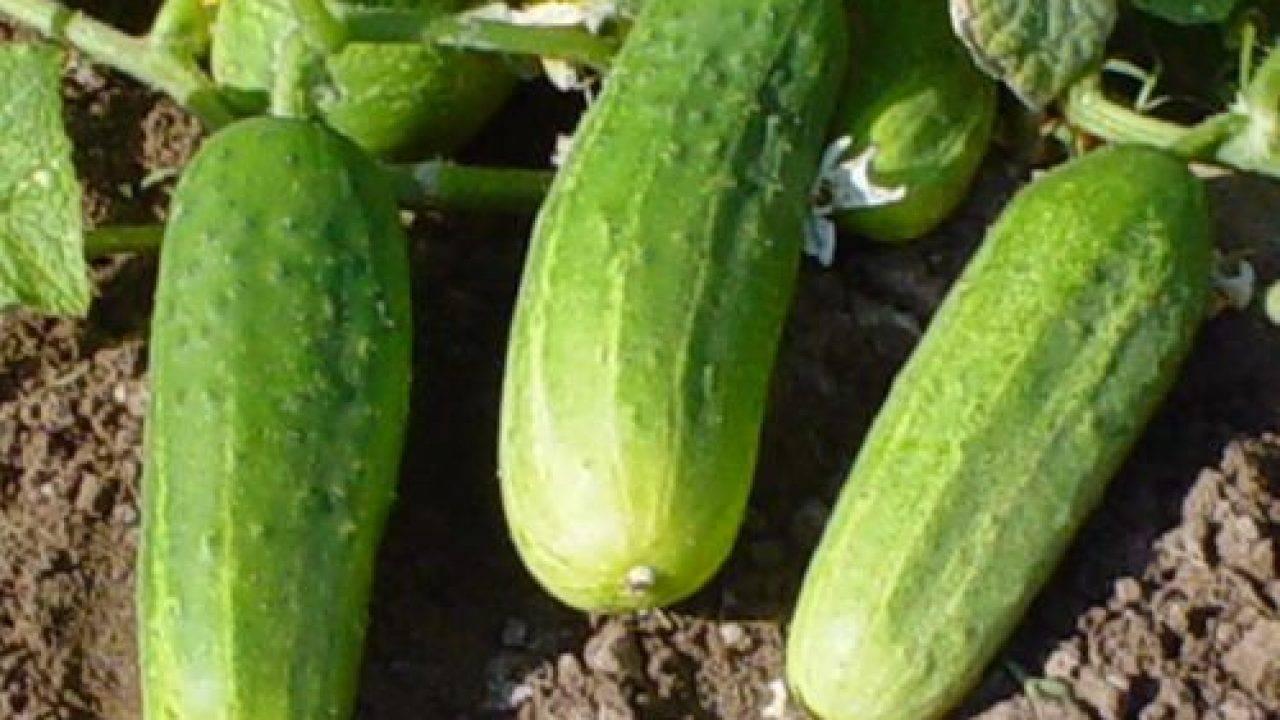 Гибридные огурцы «паратунка» с отличной всхожестью и богатым урожаем