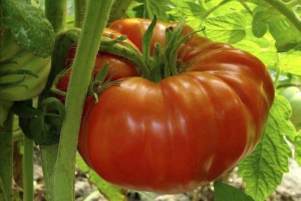 Томат tmag 666 f1: характеристика и описание сорта, способы выращивания с фото