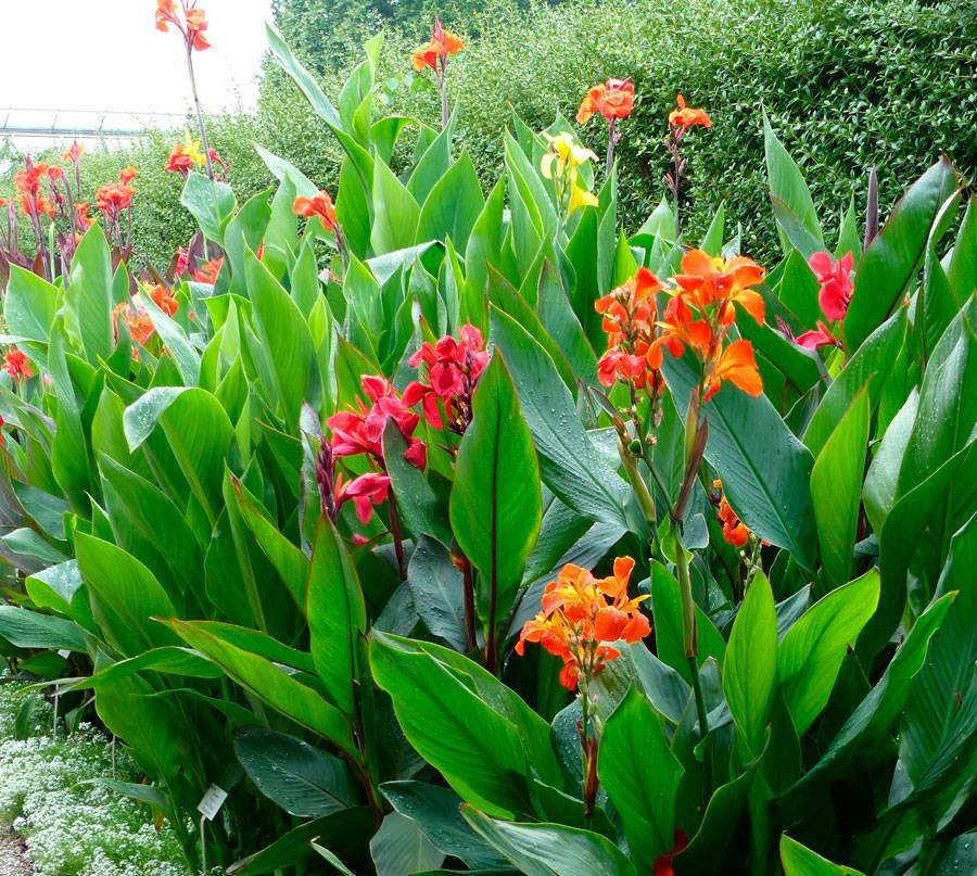 Канны — цветы, выращивание в саду