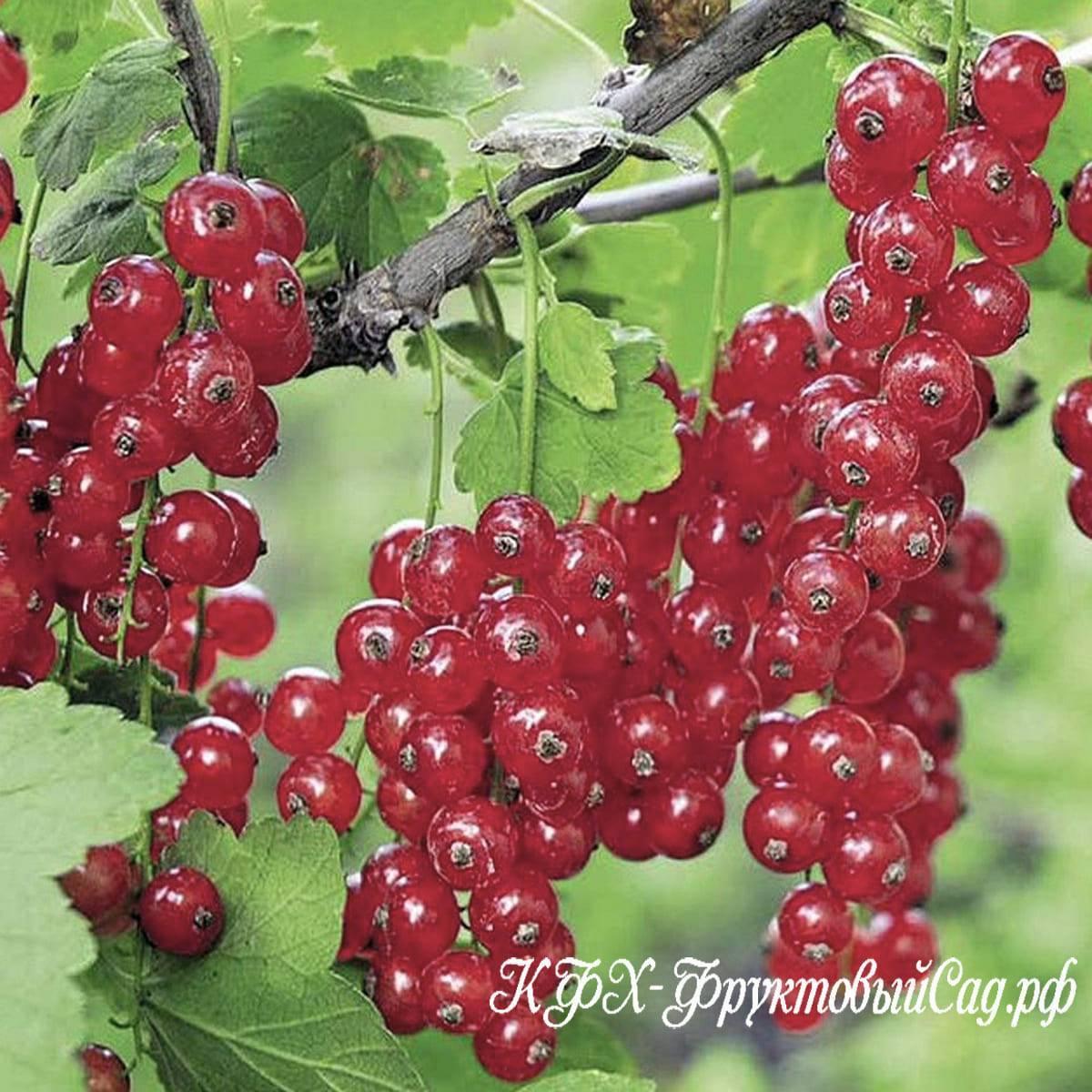 Описание сорта красной смородины джонкер ван тетс, выращивание и уход