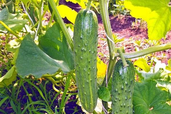 Описание сорта огурцов дружная семейка, особенности выращивания и ухода