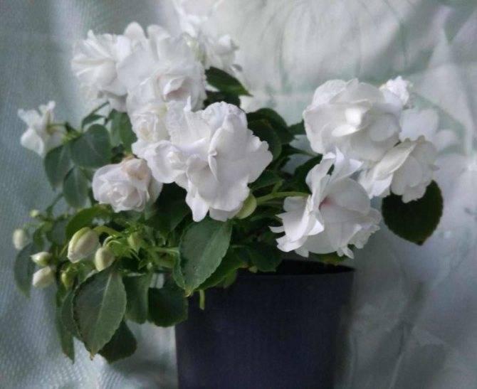 Почему у бальзамина опадают бутоны и цветы: по каким причинам растение их сбрасывает?