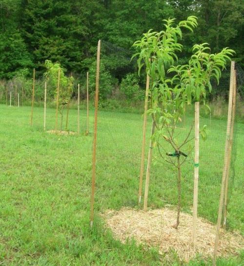 Сорта персика для средней полосы россии: правила выбора и выращивания