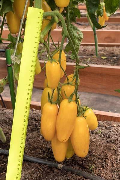 Сорт томата «банановые ноги»: описание, характеристика, посев на рассаду, подкормка, урожайность, фото, видео и самые распространенные болезни томатов