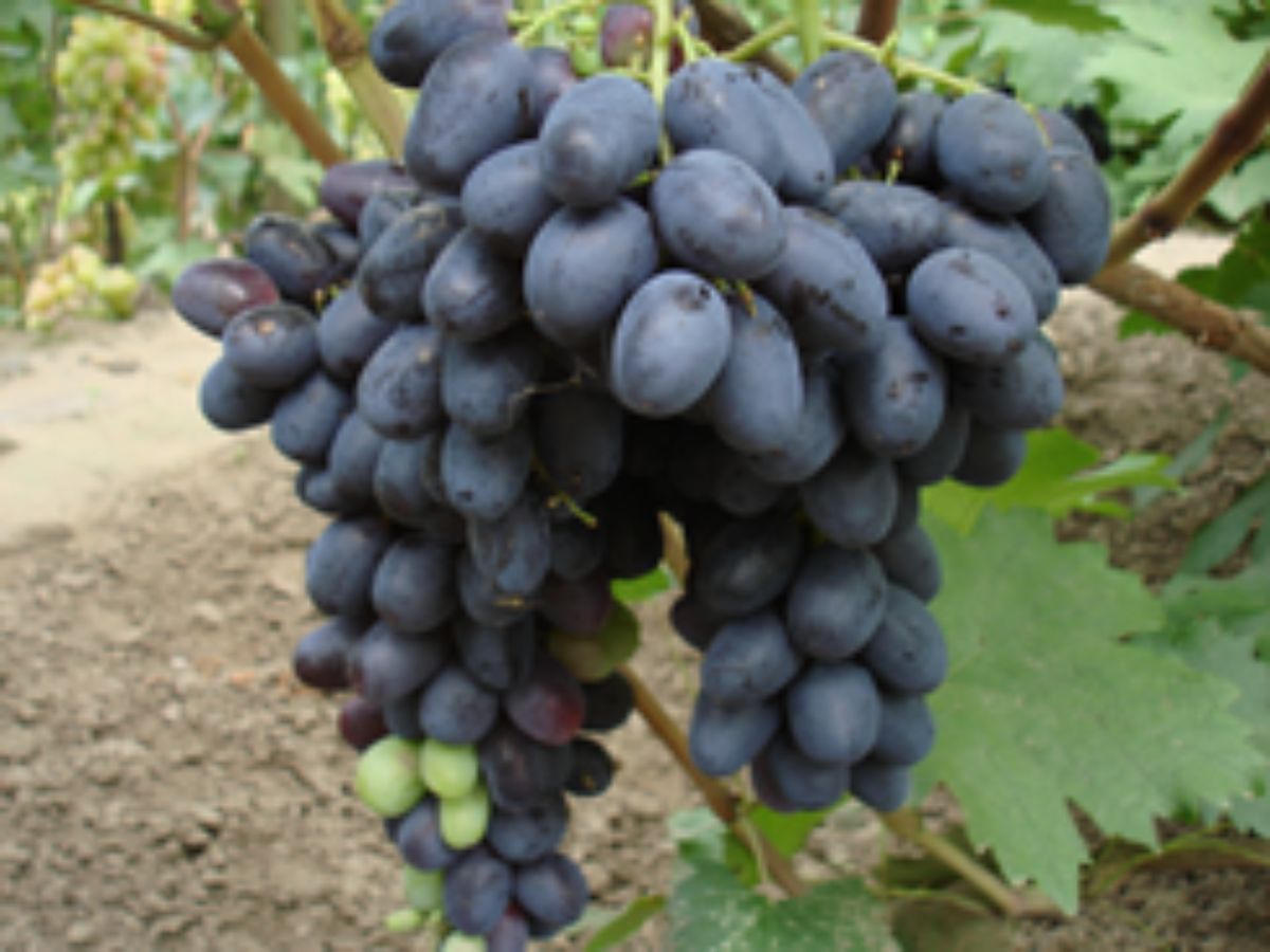 Описание винограда сорта диксон, правила посадки и ухода