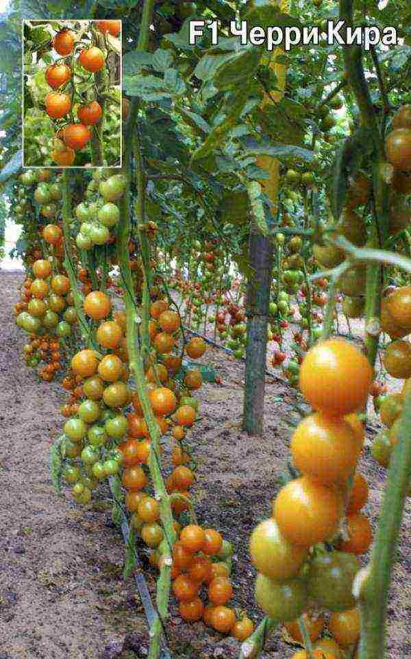 Подробное описание помидоров линда f1 — особенности плодов и семян