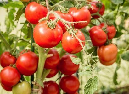 Урожайный гибрид с ранним сроком созревания «катя»: описание сорта и его характеристики
