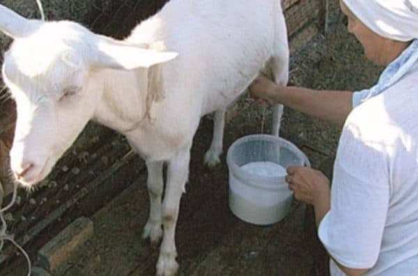 Почему козье молоко горчит