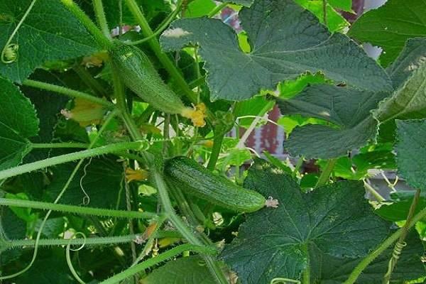 Огурец «сибирская гирлянда f1»: описание гибридного сорта, фото и отзывы