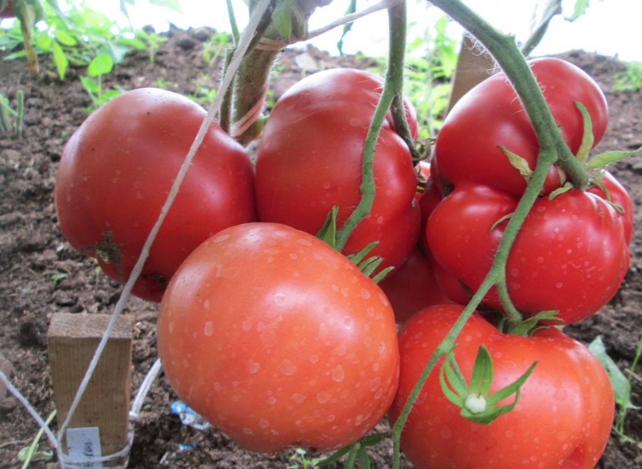 Томат пузатики: характеристика и описание сорта, уход и выращивание с фото