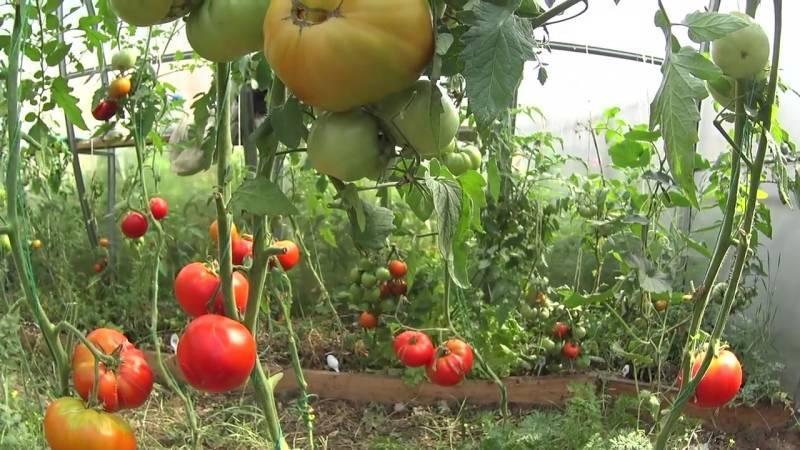 Вкусный сорт томатов москвич