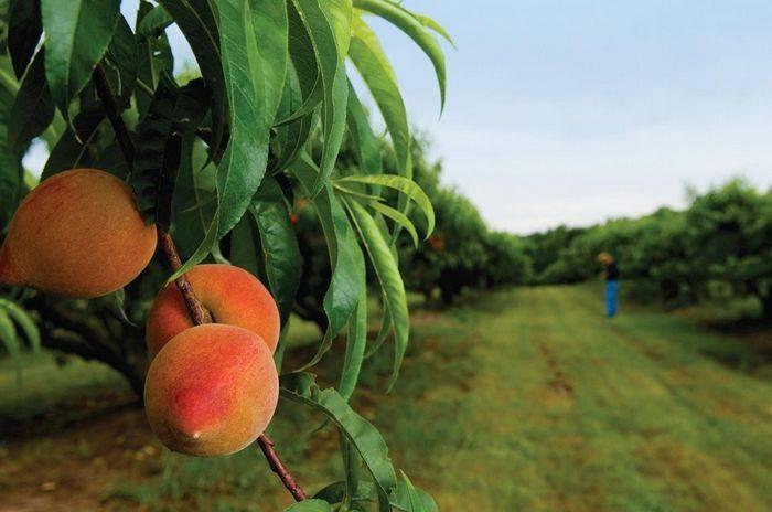 Как вырастить персик из косточки в домашних условиях?