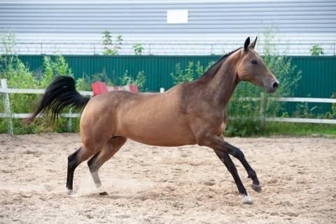 Чалая масть лошадей: разновидности и породы