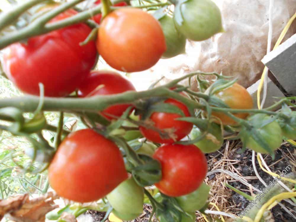 Томат тигровый: характеристика и описание сорта, отзывы садоводов с фото