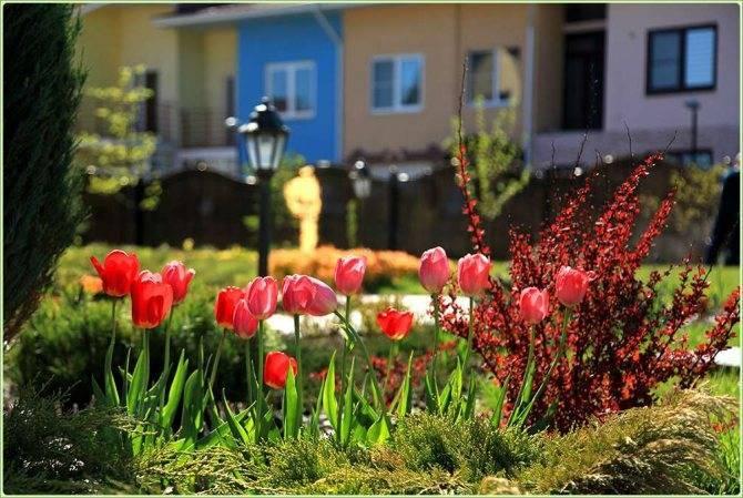 Попугайные тюльпаны: сорта, правила посадки и ухода