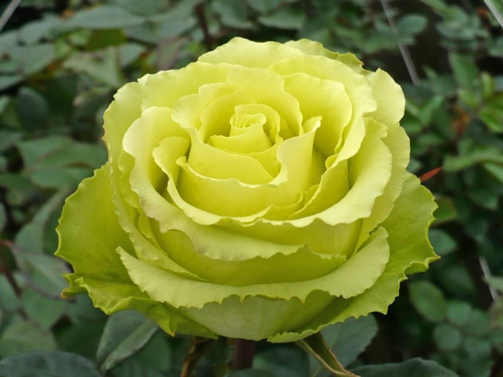Описание и характеристики роз сорта Лимбо, правила выращивания