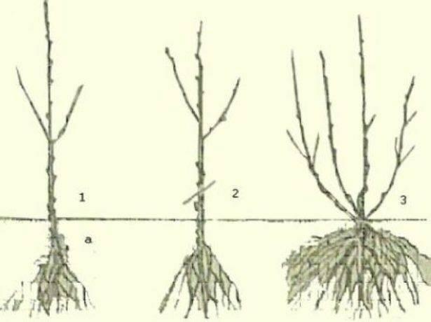 Черная смородина пигмей фото и описание сорта, посадка и уход