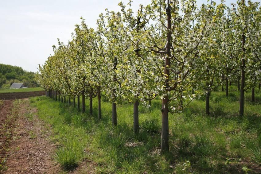 Посадка плодовых деревьев: уход, расстояние между ними