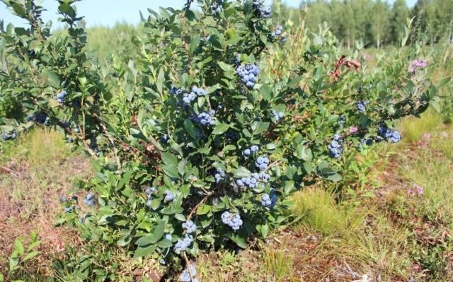 Голубика «дюк»: особенности выращивания, урожайность