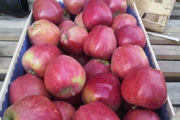 Сорт яблони ред чиф