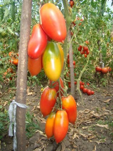 Красота и изысканный вкус: сорта томатов желтая, оранжевая и черная сосульки