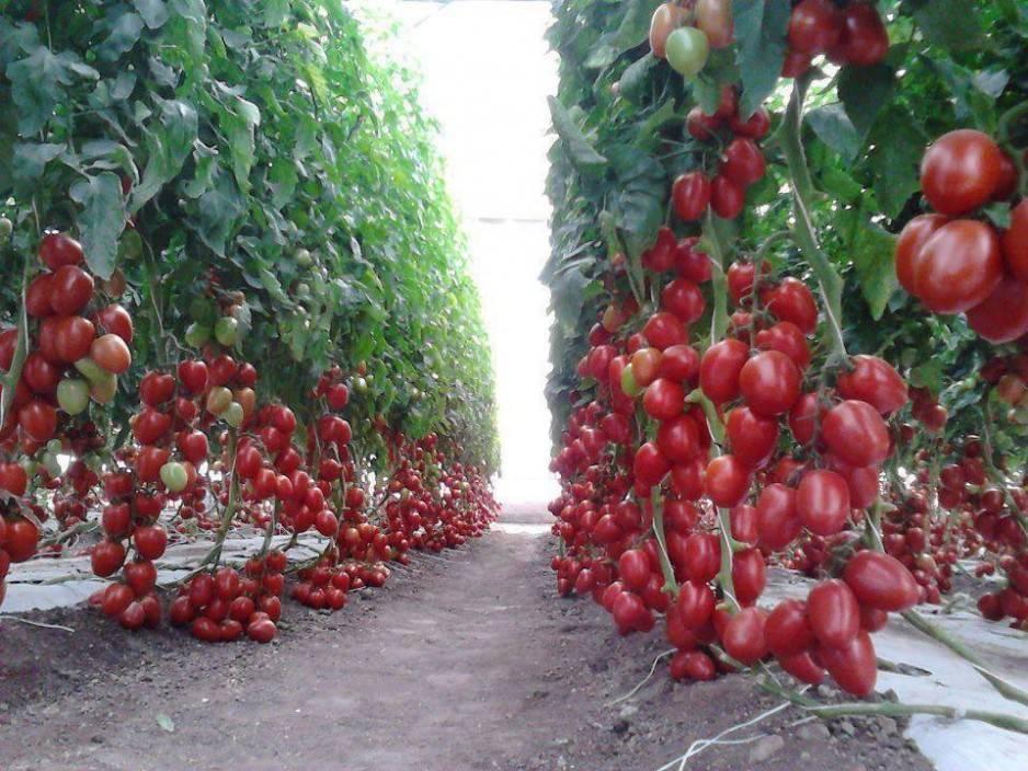 Описание и характеристика сорта томатов рапунцель