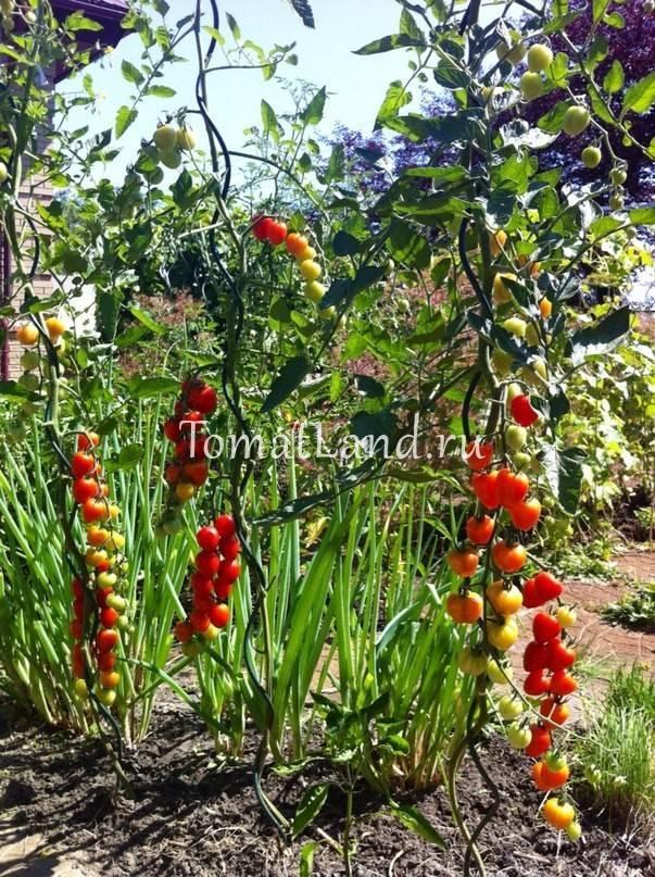 Сорт с аппетитным названием — томат «клубничка»: выращиваем правильно и собираем до 5 кг с куста