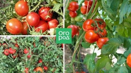 Какие помидоры сажать в ленинградской области?