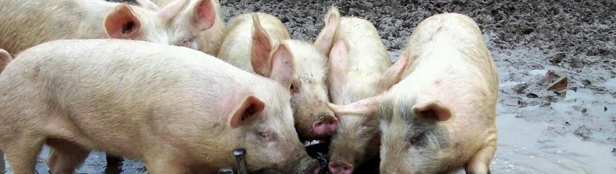Щелевые полы для свиней: виды и монтаж