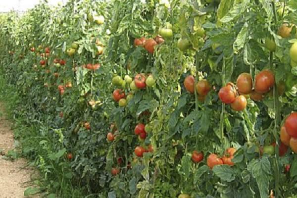 Вкусный и красивый томат «праздничный»: описание сорта и его особенности