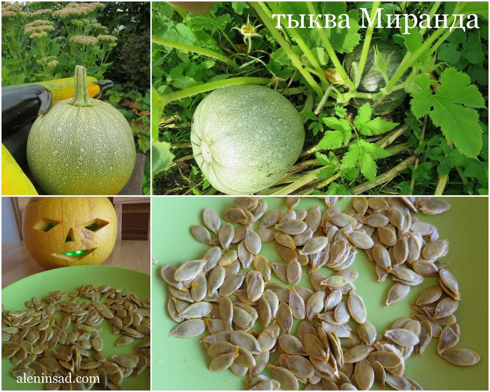 Как выращивать и ухаживать за тыквой в открытом грунте