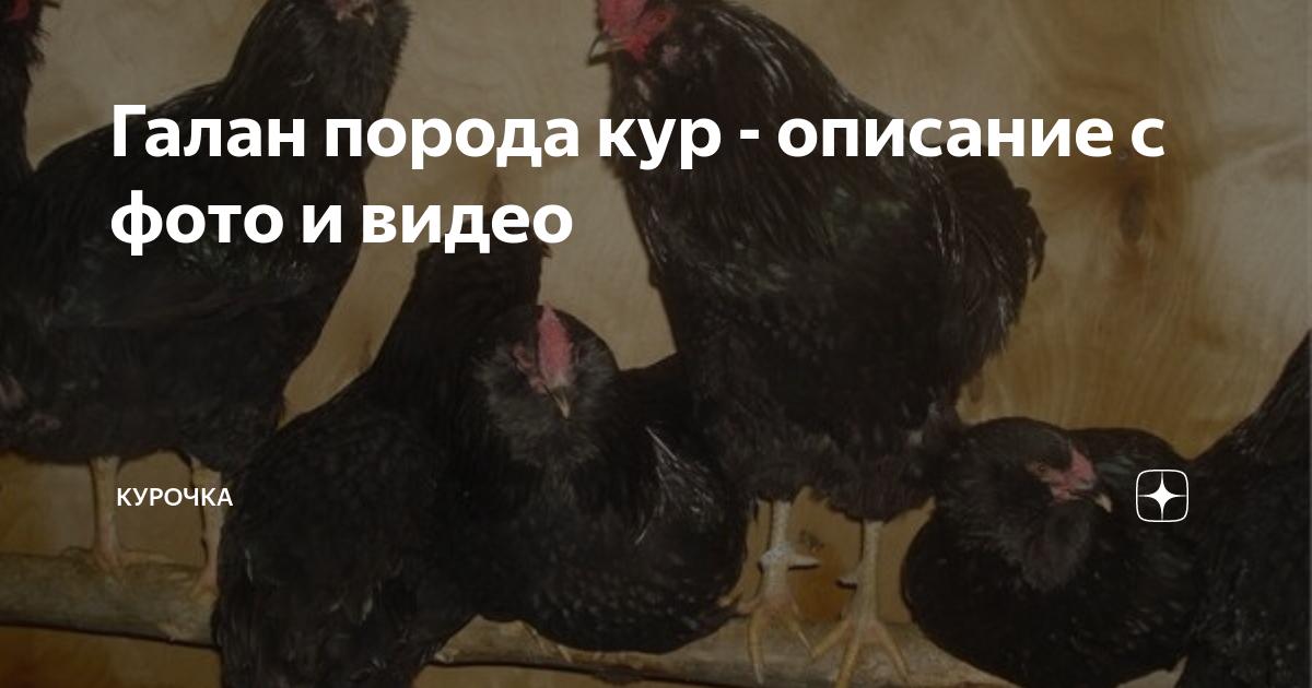 Порода кур русская черная бородатая галан описание и правила содержания
