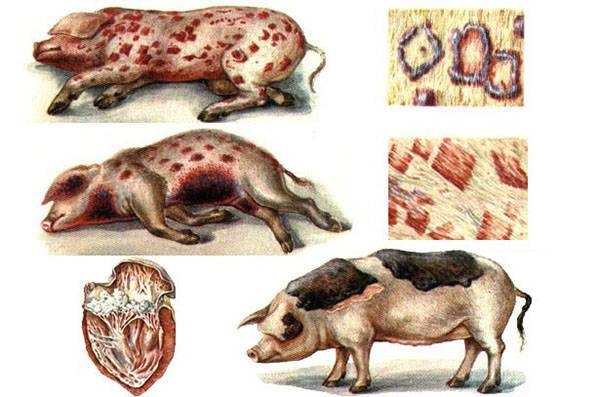 Рожа у свиней: возбудители, симптомы, методы лечения и профилактики