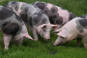 Свиньи ливенской породы