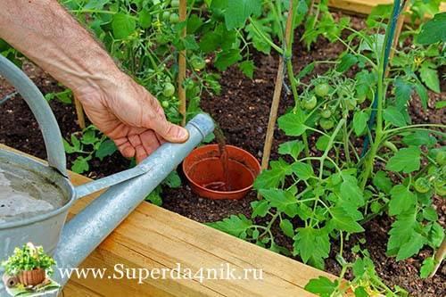 Как часто нужно поливать рассаду помидоров