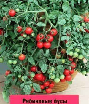 Описание сорта томата гармошка и его характеристики
