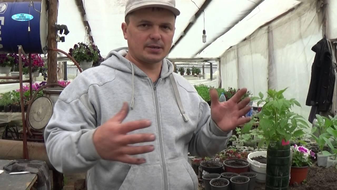 Способы размножение малины: все виды и особенности процедуры