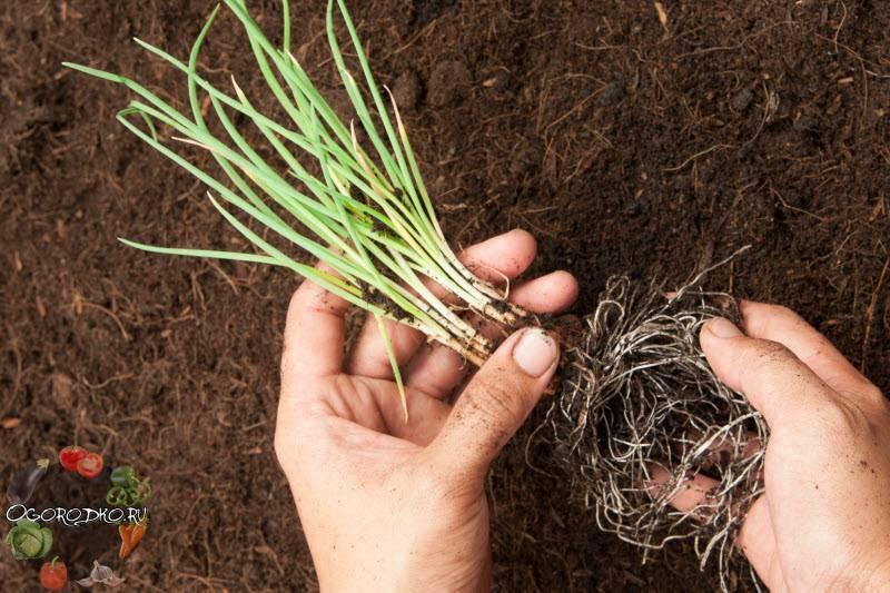 Посадка, выращивание и уход за луком батун в открытом грунте