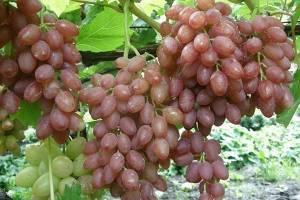 Сорт винограда юпитер- описание и достоинства