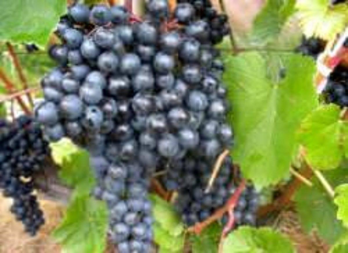 Сорт памяти негруля: характеристика винограда и особенности выращивания