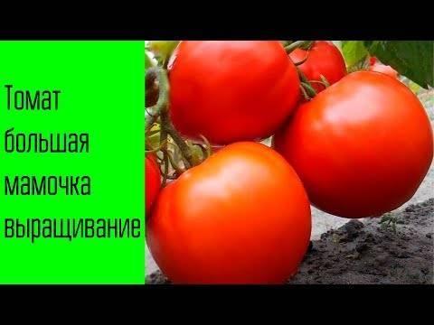 Выбираем ранние сорта помидоров: грунтовые и тепличные, крупные и малыши