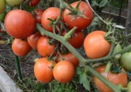 Гибрид помидора «снегопад f1»: фото, отзывы, описание, характеристика, урожайность