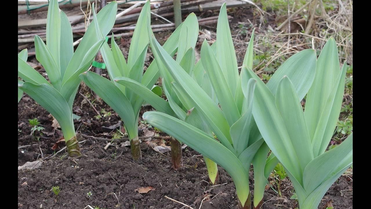 Удивительные свойства лука-чеснока «суворова» («анзур»)
