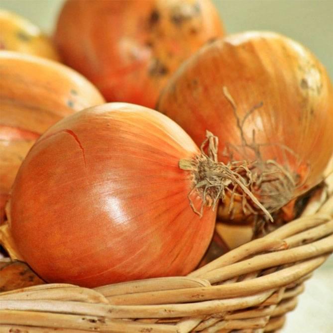 Как посадить и вырастить лук шетана?