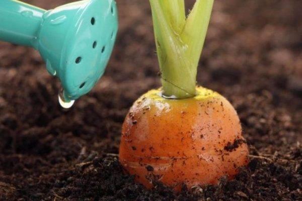 Как подкармливать морковь нашатырным спиртом и можно ли